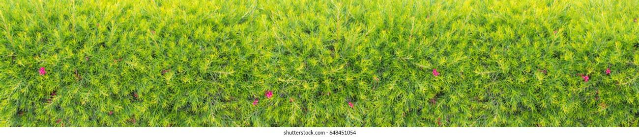 Pink grevillea bush hedge panoramic horizontal background