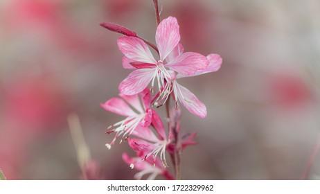 Pink Guara Flower In Bokeh