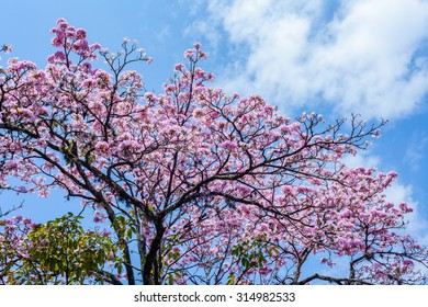 Pink Guayacan tree with blue sky as background