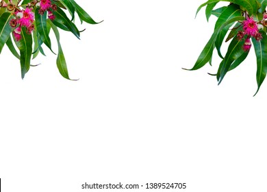 Pink gum tree eucalyptus flowers and leaves pattern texture for background design Australian plants