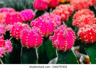 Pink Gymnocalycium cactus flowers top. Indoor ornamental plant. Selective focus.