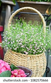 Pink gypsophilia are blooming in spring, gypsophytes are small, lovely flowers, gypsophy are in brown wood basket.