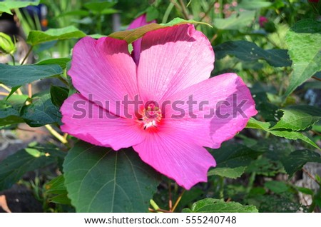 Pink Hardy Hibiscus Stock Photo Edit Now 555240748 Shutterstock