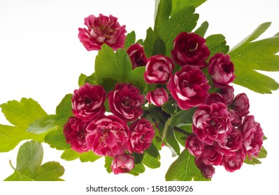 pink hawthorn isolated on white background, Red haw Crataegus on white, Parks and outdoor, Beautiful flower.