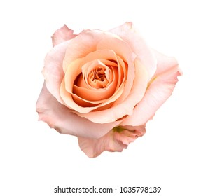 A pink head rose isolated