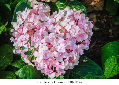 Pink heart shaped Hydrangea macrophylla flowers background. Common names include bigleaf, French, lacecap, mophead hydrangea, penny mac and hortensia.