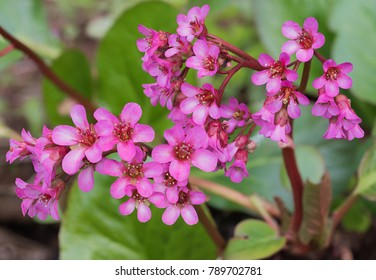 pink heart-leaved bergenia cordifolia plant with blossoms at springtime