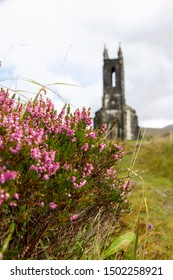 Pink Heather Growing next to the Old Abandoned Church of Dunlewey, Donegal, Ireland