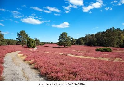 pink heather landscape with a blue sky