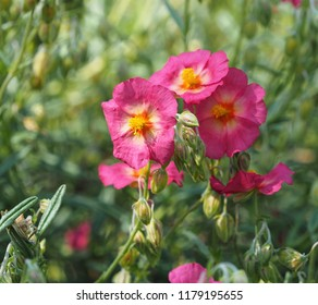 A pink helianthemum