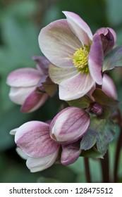 Pink hellebore flower close up