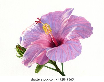 Pink Hibiscus Blossom with Blue Shadows.  Watercolor painting, illustration style, with of a bright pink tropical flower with a white background.