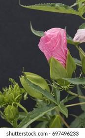 Pink Hibiscus Bud