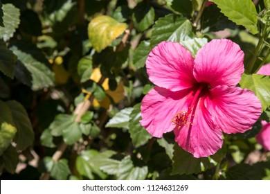 Pink hibiscus flower in Arizona