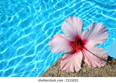 Pink hibiscus flower by the edge of bright blue pool