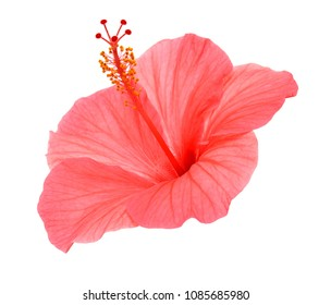 Pink hibiscus flower isolated on a white background. Flat lay, top view.