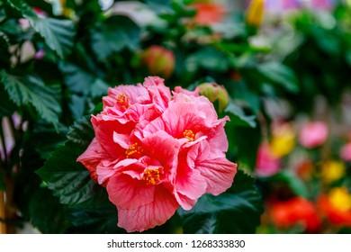 Fiori Hibiscus.Full Red Hibiscus Images Stock Photos Vectors Shutterstock