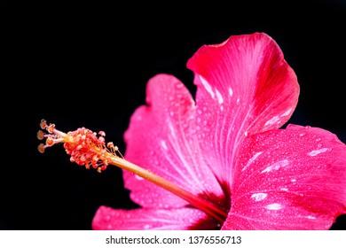 Pink hibiscus flower on black background.