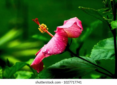 Pink Hibiscus flower with raindrops on it with a tropical forest background