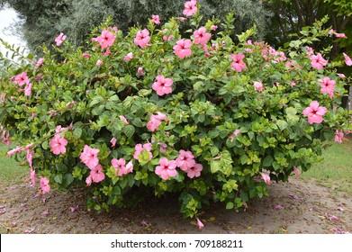 Hibiscus Plant Images Stock Photos Vectors Shutterstock