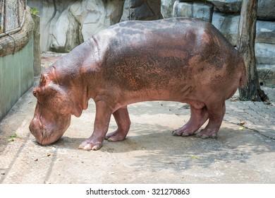 Pink Hippopotamus in Its Case