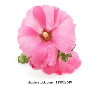 A pink hollyhock blooming