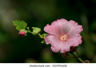 Pink hollyhock flower blossom in the park. Althaea rosea, a species native to Asia brought by Turks to Europe. It is cultivated due to its special ornamental qualities and therapeutic properties.