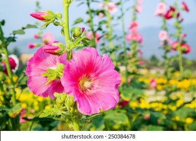 Pink hollyhock flower in garden.