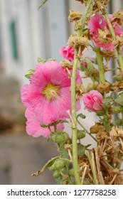 Pink hollyhock flower from Ile de Ré