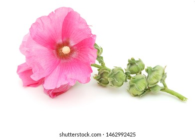 Pink hollyhock flower isolated on white