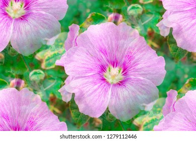 Pink Hollyhock flowers (Althaea Rosea or Alcea Rosea) blossoming in nature background