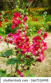 pink hollyhock flowers bloom, Thailand