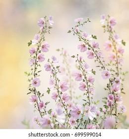 Pink hollyhock flowers in the garden