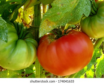 pink home grown tomatoes sprayed with Bordeaux mixture to protect against fungal infections