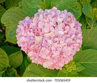 pink hortensia flower natural bouquet