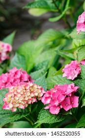 Pink Hortensia (hydrangea) in the garden.
