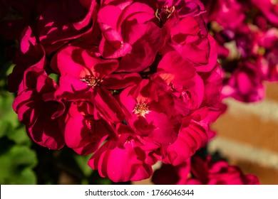Pink hortensia (hydrangea macrophylla) blooming