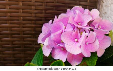 Pink hortensia on the balkony. Big Hortensia flower. Beautiful flower