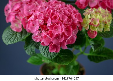 Pink hortensia in pot. Pink hydrangea on blue background. Dreamy hortensia flowers.