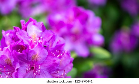 Pink hortensias with Bokeh