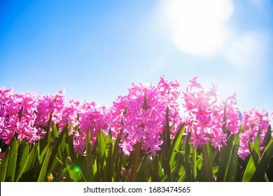 rosafarbenes Hyazinthe-Feld. Frühlingsduftende bunter Blumen Hyazinthen. Frühlingsblütenhintergrund.