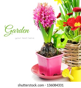 Pink hyacinth flower with bulb isolated over white