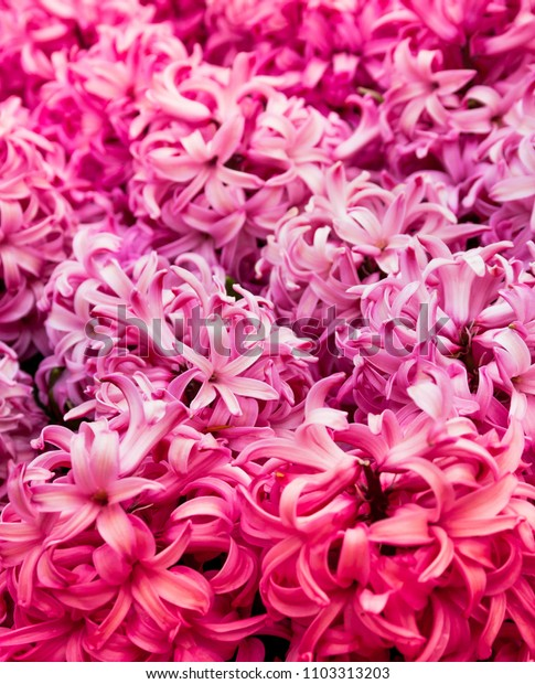 pink hyacinth flower bunch background
