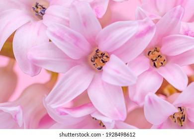 Pink hyacinth flower in full bloom, close up macro.  Spring rose color hyacinth blossom, closeup. Light pink flower petals