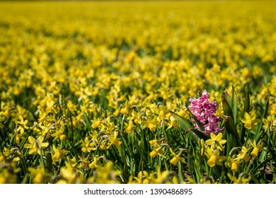 Pink hyacinth flower growing in a field of yellow daffodils in North Holland, the Netherlands.