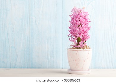 Pink hyacinth in flower pot