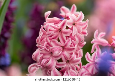 Pink hyacinth in the hyacinth flowerbed, shallow DOF, soft fucus. Flowering hyacinths on a large beautiful flowerbed in the spring. Nature flower background.