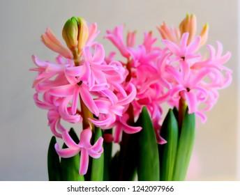 Pink Hyacinth in Full Bloom, Detail