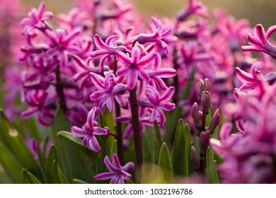 pink hyacinth (Hyacinthus)