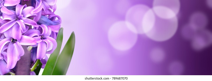 pink hyacinth on purple gradation with blur lights in panoramic size